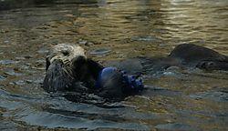 29547Sea_Otters.JPG