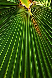 5037Palm_leaf.jpg
