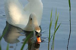 24439DSC_2039_-_Swan.jpg