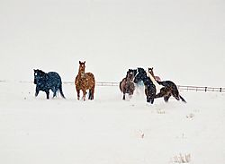 31614HORSES_IN_THE_SNOW11.jpg