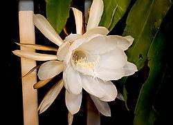 12346night-flower-01722srbg.jpg