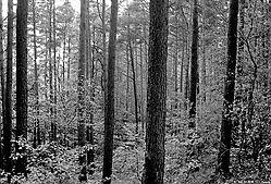 31220Colourless-wood.jpg
