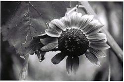 34145smallsunflower.jpg