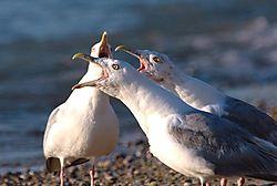 31980Evening_Gulls.jpg