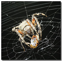 9965DSC_3852_Spider_Prey_Ladybu.jpg