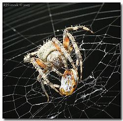 9965DSC_3852_Spider_Prey_Ladybu.jpg