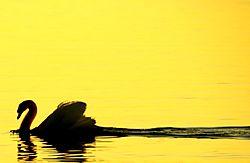 21584Mute_Swan_At_Sunrise.jpg