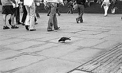 13039lonely-pigeon.jpg