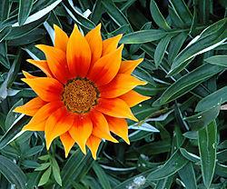 33968Flor_Naranja_2005-09-25.JPG