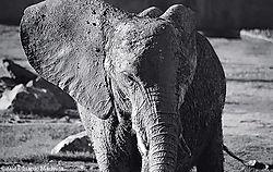 10342elefante-pastora-bn.jpg