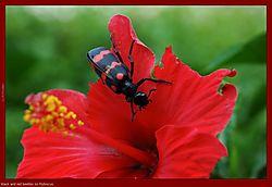 79519b_r_beetles_2005-05-05_02.jpg