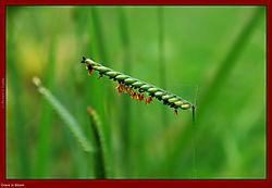 79519pancawati_grass_in_bloom.jpg