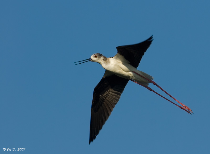 10095black_winged_stilt