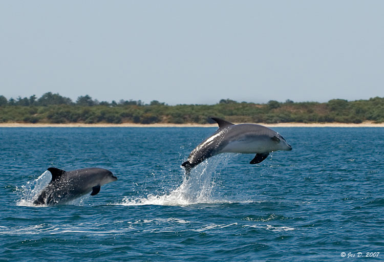 10095jumping_dolphins2
