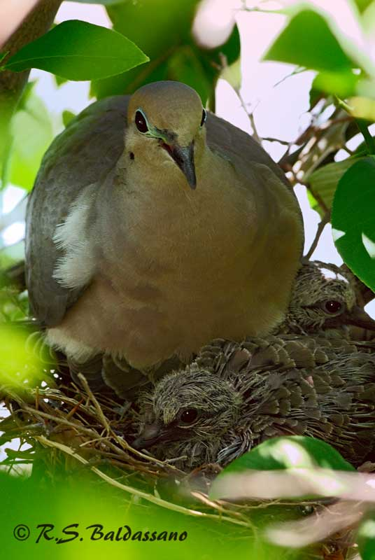 105057Dove-Hatchlings