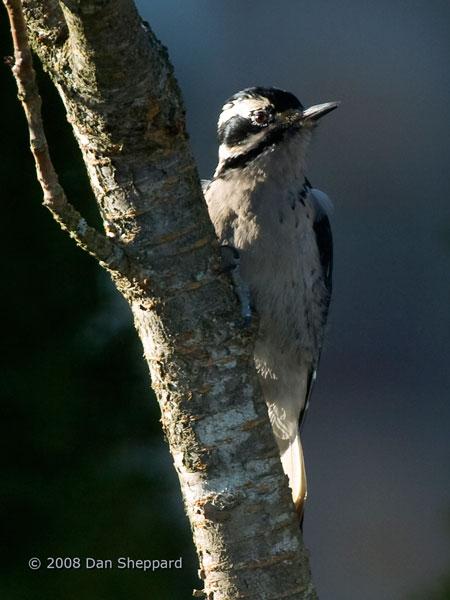 20081216DSC_0339---Hairy-Woodpecker---female