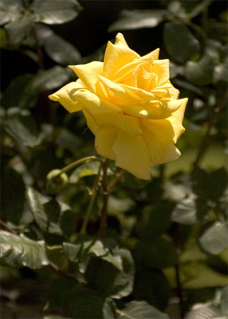 27921Yellow_Rose2