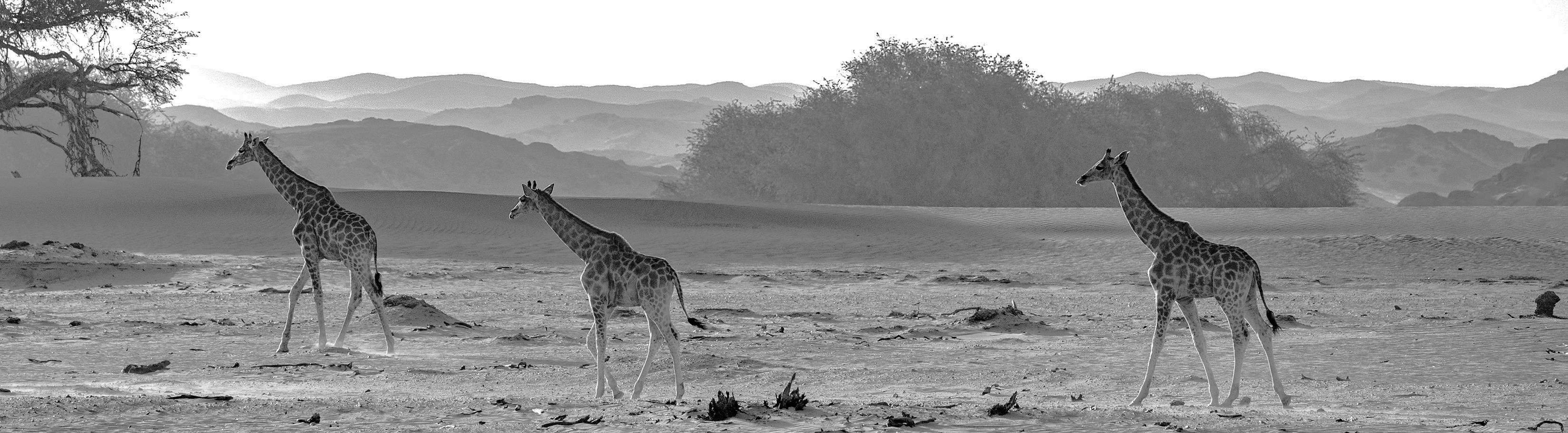 75O0587_sunlit_giraffes_B_W_editLR