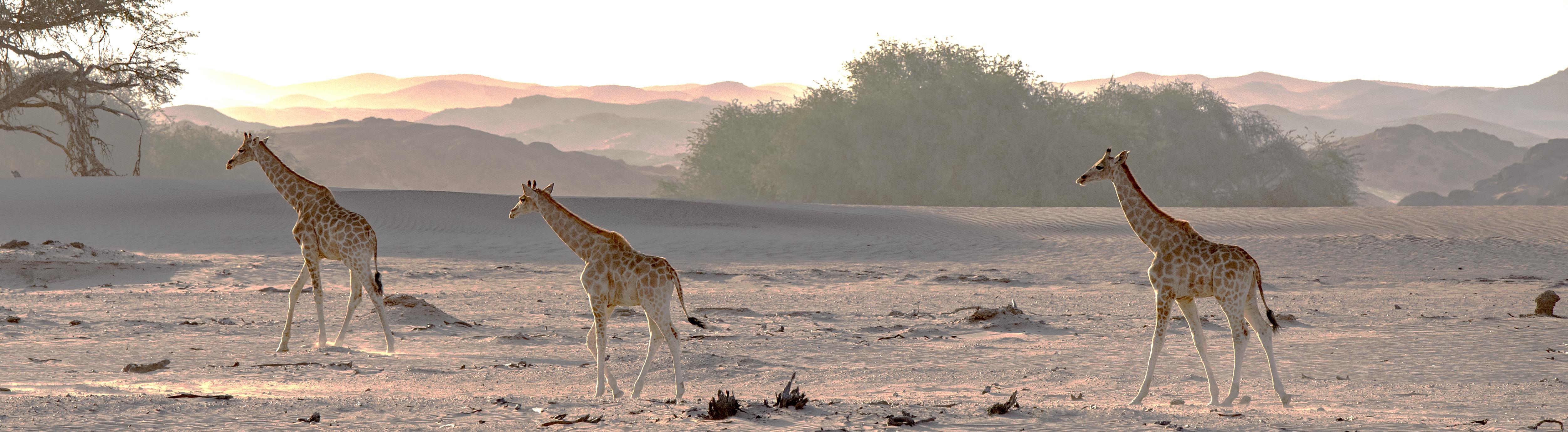 75O0587_sunlit_giraffes_color