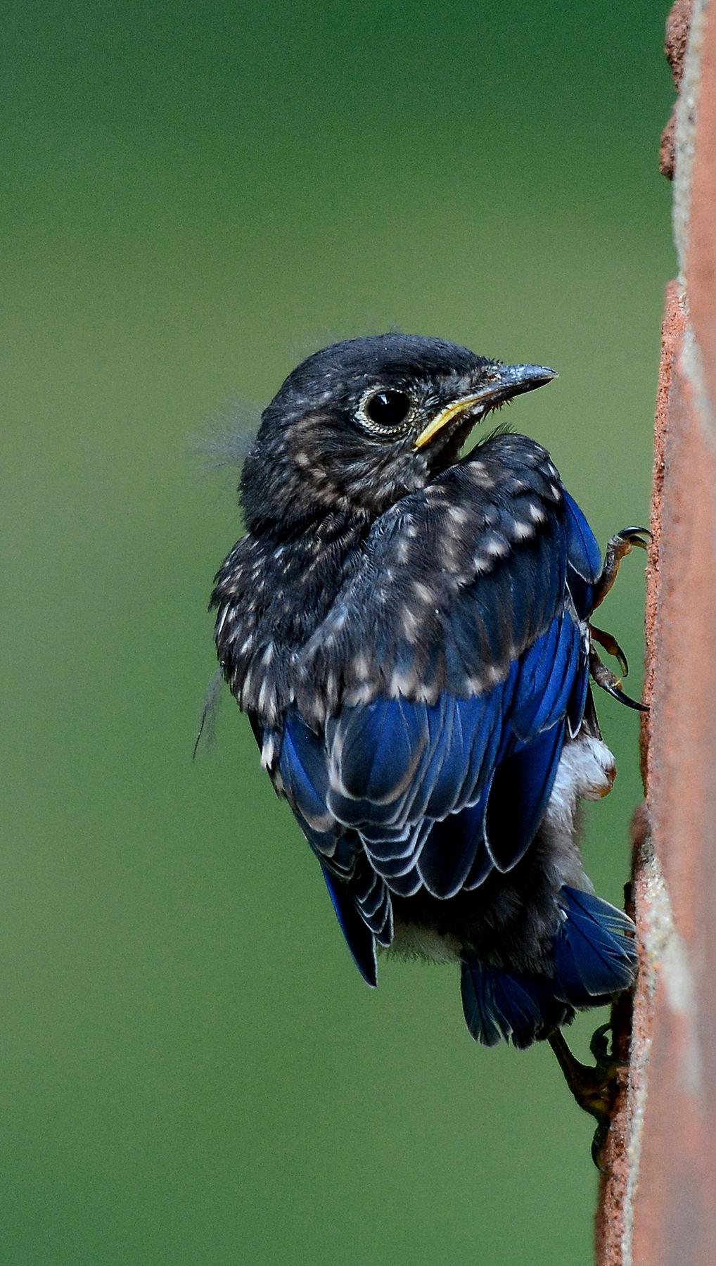 Baby_Bluebird_Fledging_7_2_17