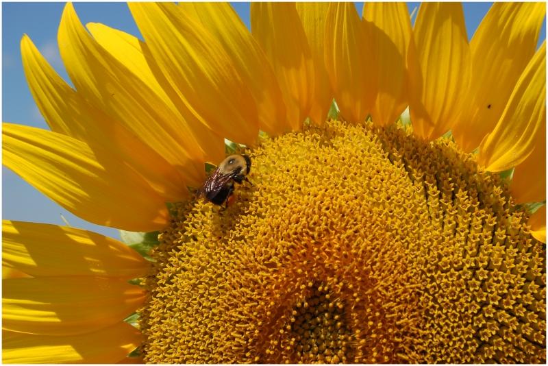 Bee_on_a_Sunflower