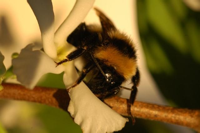 Bumble_Bee-1