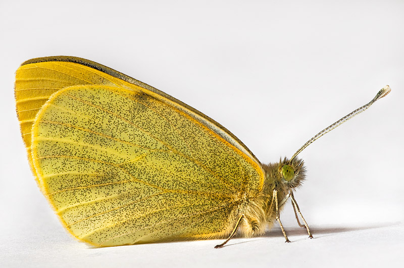 Butterfly_-_Brimstone_1