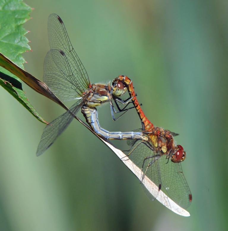 DSC_6218_Dragonflies_coupled
