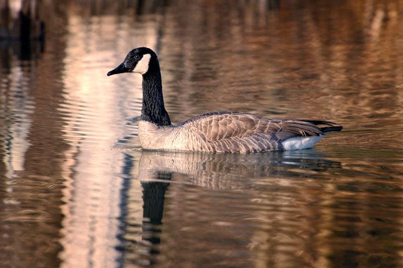 Goose-web