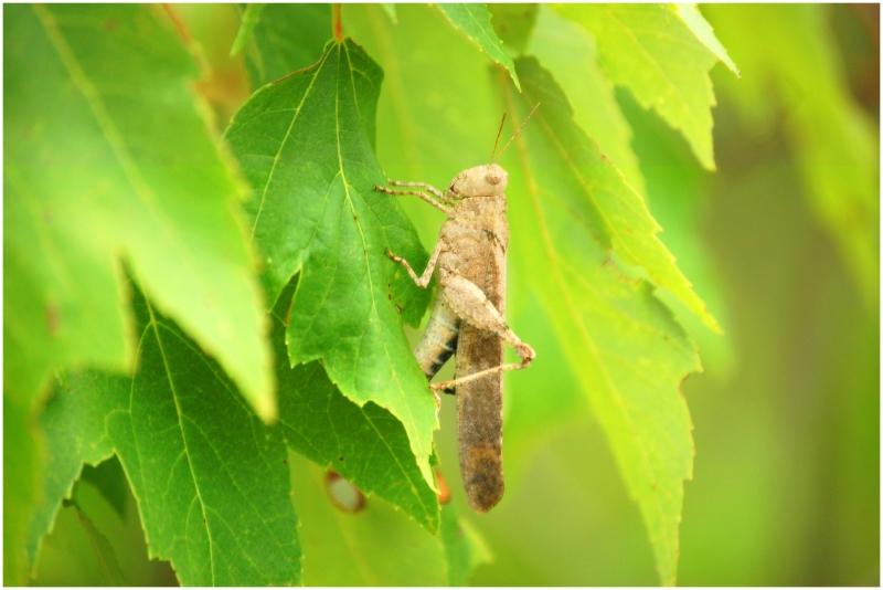 Grasshopper_on_green
