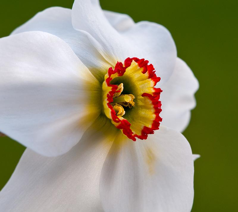 Narcissi_-_crop