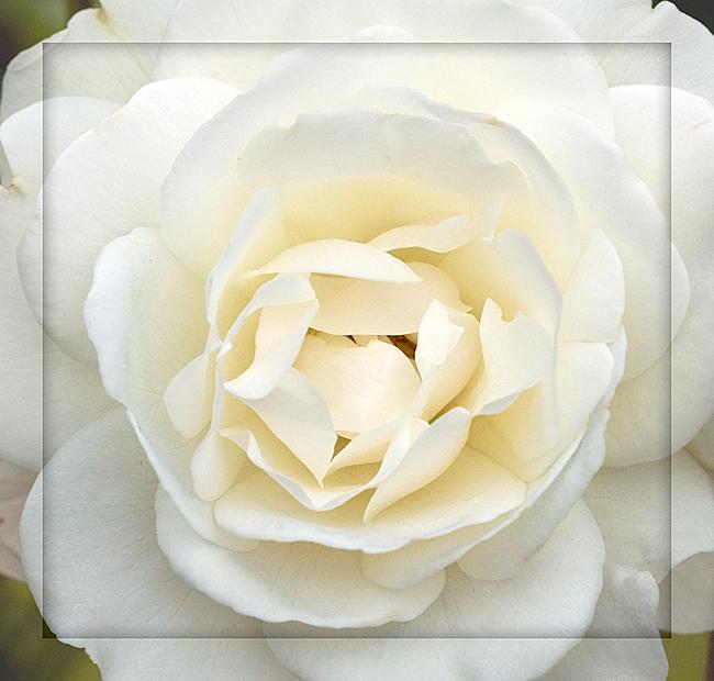 Rose---White-Heart