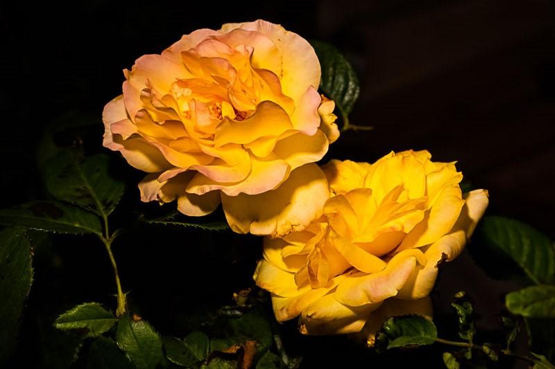 Rose39