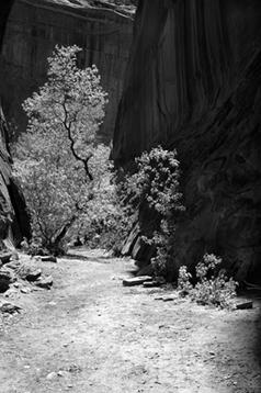 Tree_In_Canyon_nik