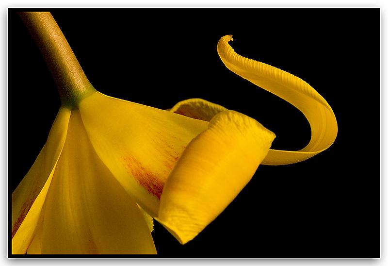 Tulip---Cobra-_2