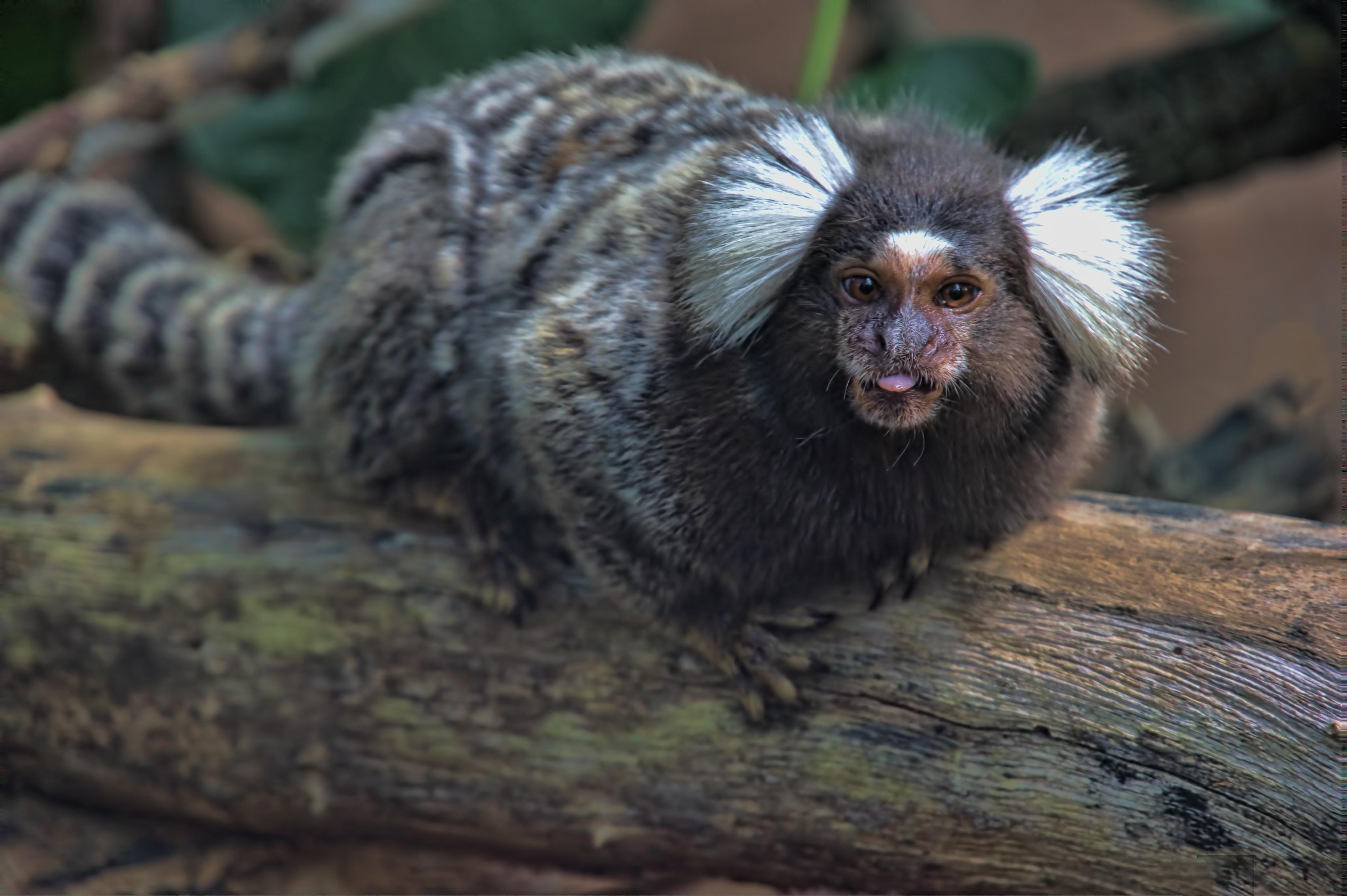 White-eared_marmoset