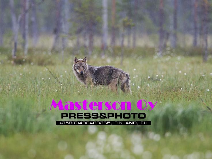 Wolf_8898