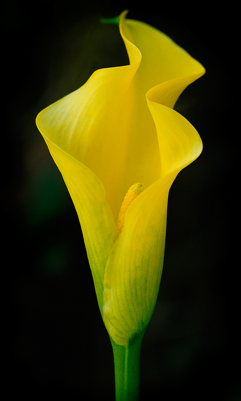 Yellow_Cala