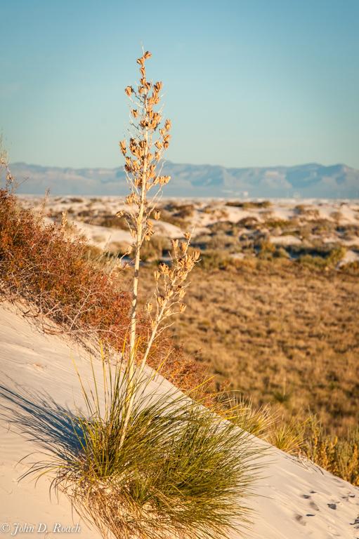 Yucca_Plant