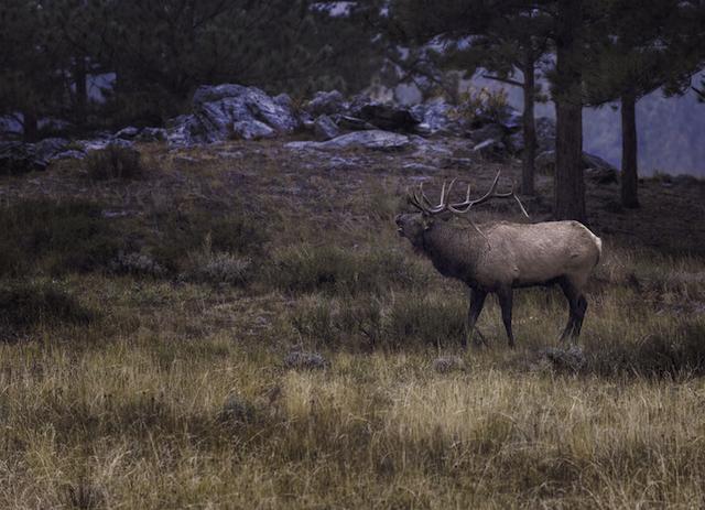 elk-bgs-325643_copy
