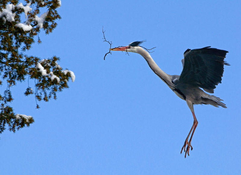 heron_with_branch