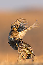 026_Here_Prairie_Chickens_Strikes_the_Bread_Basket_-_Burwell_Nebraska_2015.jpg