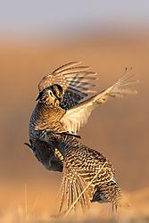 026_Here_Prairie_Chickens_Strikes_the_Bread_Basket_-_Burwell_Nebraska_2015.jpg