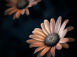 04-Daisy1.jpg
