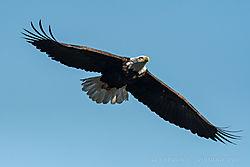 056_Elegant_Wing_Spread_of_American_Bald_Eagle_-_Conowingo_MD_2017.JPG