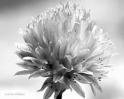 09-chive_blossom_BW-8x10-1200-FINAL.jpg
