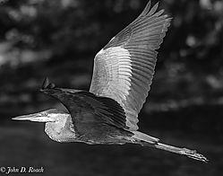 1-Heron-Nikonian_B_W.jpg