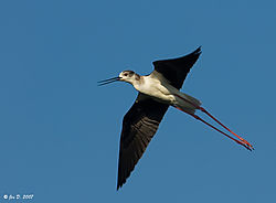 10095black_winged_stilt.jpg