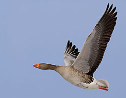 10095flyinggoose1.jpg