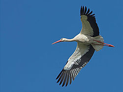 10095flyingstork.jpg